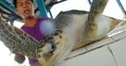 Petugas mengangkat Penyu Lekang (Lepidochelys Olivacea) berusia satu tahun di lokasi Kawasan Konservasi Laut Daerah (KKLD) Pusat Penangkaran Penyu, Pantai Manggung, Pariaman, Sumbar, Kamis (24/3). Dinas Kelautan dan Perikanan (DKP) Pariaman menargetkan 5 ribu penangkaran telur penyu pada tahun 2011, sementara jumlah telur yang sedang dierami sejak Januari baru 705 telur penyu sisik dan lekang. (FOTO ANTARA/Iggoy el Fitra)