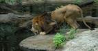 Seekor singa Afrika, koleksi Taman Safari Indonesia II Prigen, Pasuruan, Jawa Timur, Sabtu (18/6). Saat ini Taman Safari II memiliki koleksi sekitar 2500 binatang dari 200 spesies yang berbeda. (FOTO ANTARA/Syaiful Arif/11FOTO ANTARA/Syaiful Arif/pd/11)