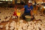 Jateng akan tertibkan peternak ayam ilegal cegah kelebihan pasokan