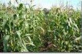 Distanak salurkan 7.500 Kg benih jagung