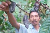 Petani perlu cermati gejala busuk buah pada kakao