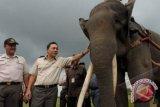 Gajah Liar Masih Resahkan Warga Bengkunat