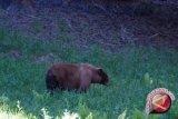Bahrun selamat setelah pukul beruang menggunakan kayu