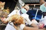 Distan Minahasa Tenggara: Kematian unggas akibat virus HPAI-H5N1