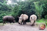Sumatran Rhino In Way Kambas To Deliver Soon