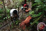 Rafflesia berkelopak tujuh pikat pengunjung