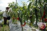 Petani disarankan tanam hortikultura mulai Mei