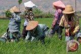 Kelompok Tani Ngudi Makmur resmi berbadan hukum koperasi