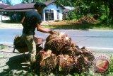 Selama Ramadhan harga kelapa sawit turun