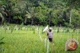 Hama Ulat Serang Lampung Tengah