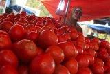 Dinilai tak berharga petani Gayo biarkan tomat tak dipanen dan membusuk di batang