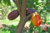Jasindo membantu rumah produksi kakao Nglanggeran
