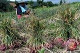 Produksi Bawang dan Cabai di sulteng menggembirakan