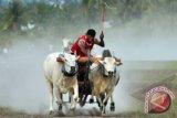 Ada Parade Gerobak Sapidi Festival Teluk Jailolo