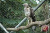 BKSDA Yogyakarta lepasliarkan elang brontok
