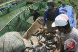 Sulteng Sebar 107 Tambak Terpal Ikan Lele