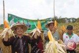 Produksi jagung Kulon Progo di bawah target