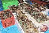Nelayan Gunung Kidul panen lobster
