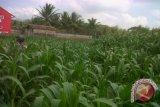 Sebagian lahan di Bantul masih ditanami jagung