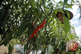 Kulon Progo perluas lahan hortikultura 500 hektare