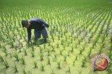 Lahan Padi musim hujan capai 896 hektar