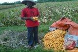 Petani Bantul mulai terdampak perubahan iklim
