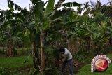 90 persen lahan pekarangan Bantul ditanami pisang