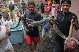 Seekor Ular Sanca Dilepasliarkan di Nusakambangan