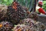 India hentikan pembelian sawit dari pemasok Malaysia, bakal untungkan Indonesia