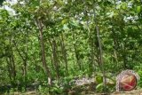 Resor Pemangku Hutan tebang pohon 140 hektare