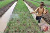 KTNA : sebagian lahan bawang Bantul terserang jamur