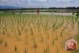 KTNA : banjir ancam pasokan pangan dalam negeri