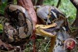 BKSDA lepasliarkan ular di Pararawen