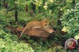Macan tutul terekam kamera di kawasan TNBTS Jawa Timur