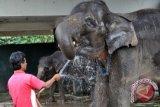Gajah di Langkat Dirawat Orang Jerman