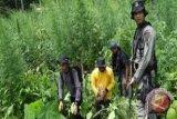 Polisi Temukan 17 Ha Ladang Ganja Di Aceh