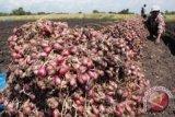 KTNA : kualitas panen bawang Bantul untungkan petani
