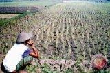 Dispertan imbau petani ganti varietas padi Ciherang