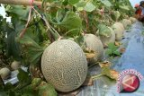 Di China ada alat pendeteksi kadar manis buah melon