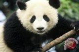 Bayi Panda Ketemu Induknya