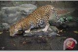 Masyarakat lereng Merapi berjaga antisipasi serangan macan