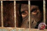 Orangutan nyasar ke pemukiman penduduk Kotawaringin Timur
