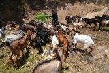 Sultra peroleh bantuan bibit kambing 150 ekor