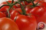 Ternyata! Tomat-Apel Mampu Perbaiki Kerusakan Paru Bekas Perokok