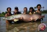 KKP memaparkan karakteristik ikan berbahaya arapaima gigas
