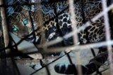 BKSDA Jateng Lacak Jejak Macan Tutul di Banyumas