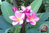 Profil - Mandra: Berkah Berlimpah dari Pohon Kamboja