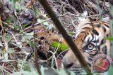 Harimau sumatera tersisa 17 di Bengkulu