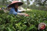 Jenis teh yang cocok untuk masalah kesehatan