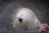 Mutasi Genetik Hilangkan Risiko Sakit Jantung Beruang Kutub